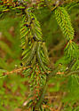 larvae on red spruce - Neodiprion