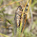 Platypedia species? - Okanagana