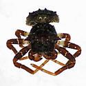 Dog-Eared Spider - dorsal face - Bucranium - male