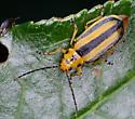 Trirhabda canadensis - Goldenrod Leaf Beetle?? - Trirhabda canadensis