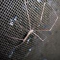 Ogrefaced Spider (Deinopis spinosa) - Deinopis spinosa - male
