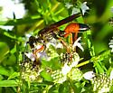 Great Golden Digger Wasp - Sphex ichneumoneus - female