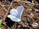 Lycaenidae - Celastrina echo