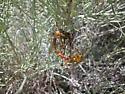 Bittacus chlorostigma mating - Bittacus chlorostigma - male - female