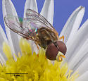Syrphidae ? - Toxomerus