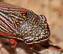 Leafhopper - Cuerna obesa