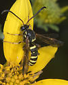 Unknown wasp - Metopius