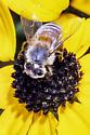 collecting pollen - Apis mellifera