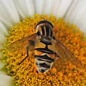 syrphid fly - Helophilus latifrons