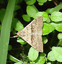 moth found in maritime swamp - Renia salusalis - male