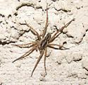 Spider 2 - Tigrosa