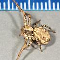 Xysticus locuples - female