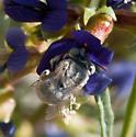 Anthophora cf subgen. Heliophila - Anthophora