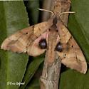 Blinded Sphinx - Paonias excaecatus - Paonias excaecata