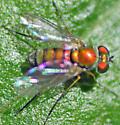 Longlegged fly (Condylostylus sp.?) - Condylostylus