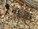 Apiocerid fly, sp.? - Apiocera - male