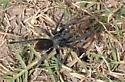 mating tarantulas - male - female
