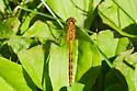 Dragonfly #1 - Sympetrum - female