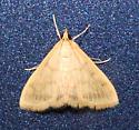Crambid Moth - Hahncappsia mancalis