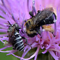 Two bees on Cirsium discolor - Triepeolus donatus - male