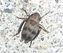 Some kind of hopper? - Anoscopus serratulae