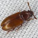 Beetle IMG_1028 - Pharaxonotha floridana