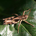 Walsh's Short-wing Grasshopper - Dorsal - Melanoplus alabamae - male