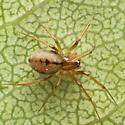 Linyphiid - Agyneta fillmorana - female