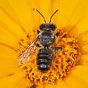 Megachilidae with knobbed antennae? - Megachile - male