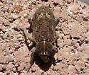 beetle - Listroderes difficilis