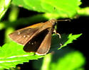 Three-spotted Skipper  - Cymaenes tripunctus