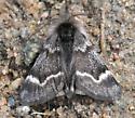 Unknown Moth - Leucobrephos brephoides - male