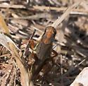 Red-legged Grasshopper (Melanoplus femurrubrum)? - Melanoplus femurrubrum - female