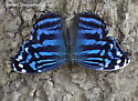Mexican Bluewing - Myscelia ethusa
