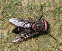 Tabanid - Tabanus superjumentarius - male
