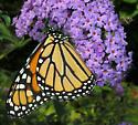 Monarch Butterfly - Danaus plexippus - female
