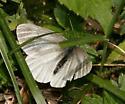 Arctic White - Pieris marginalis