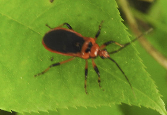 Red and black true bug - Rhiginia cruciata