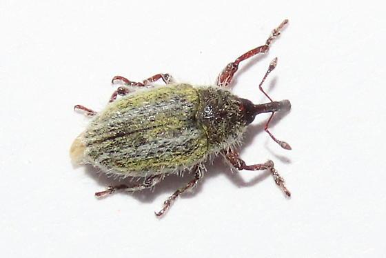 Green Weevil - Eustenopus villosus