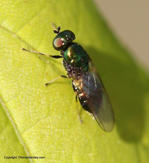 Fly - Microchrysa polita - female