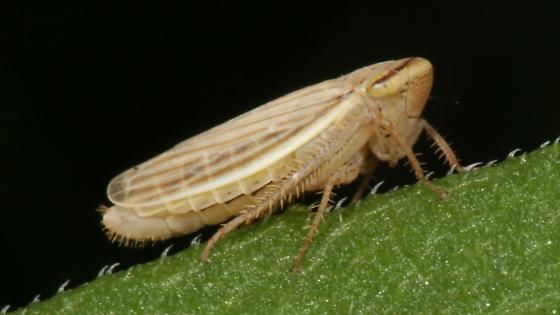 Leafhopper - Athysanus argentarius