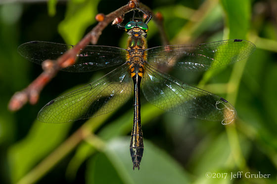 Dragonfly - Dorocordulia libera - female