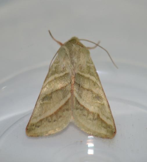 Noctuid - Chloridea virescens