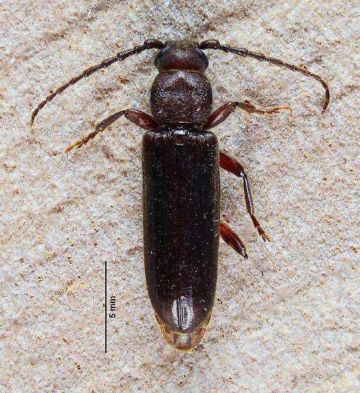 A mating pair of Asemini....  - Megasemum asperum - male