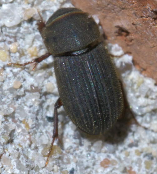 Rough, brown beetle with hair - Ataenius imbricatus