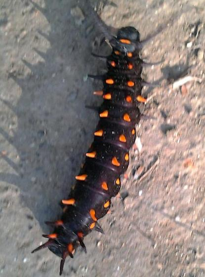 black and orange caterpillar - Battus philenor
