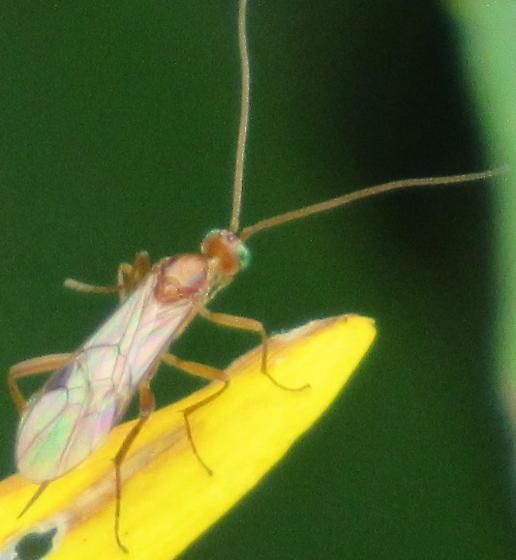 Wasp? - Meteorus