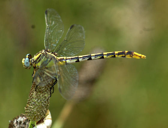 dragonfly - Phanogomphus militaris - female