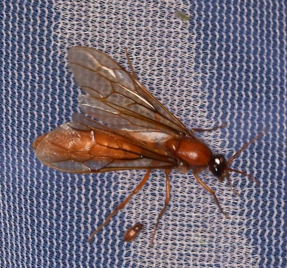 Ichneumon?  or something else? - Labidus coecus