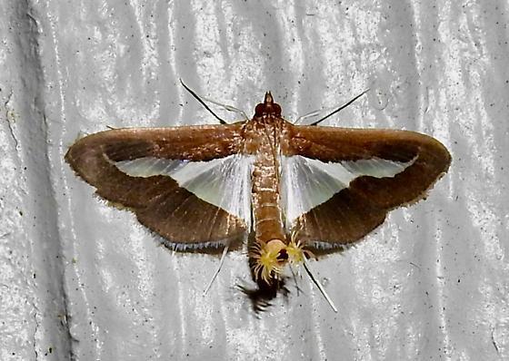 Diaphania sp. - Diaphania modialis